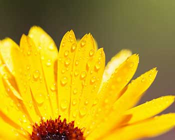 water on yellow petals